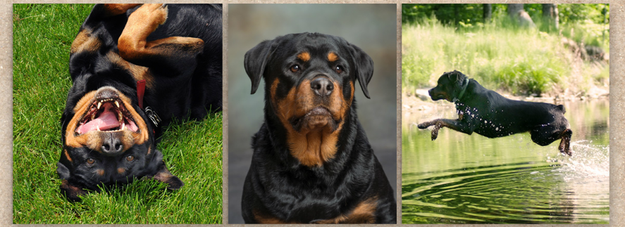 Application For Financial Aid North East Rottweiler Rescue